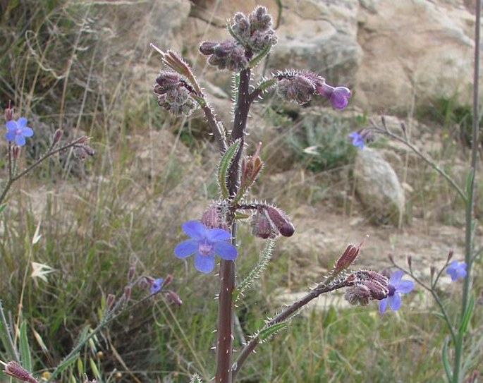 Anchusa strigosa