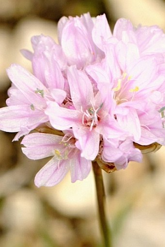 Armeria canescens subsp. nebrodensis