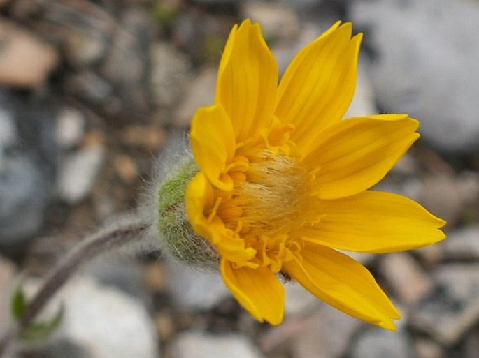 Arnica angustifolia subsp. tomentosa