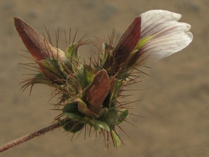 Blepharis maderaspatensis