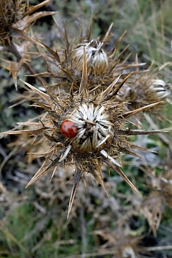 Carlina nebrodensis