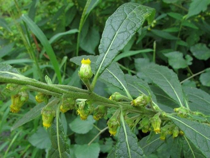 Carpesium abrotanoides