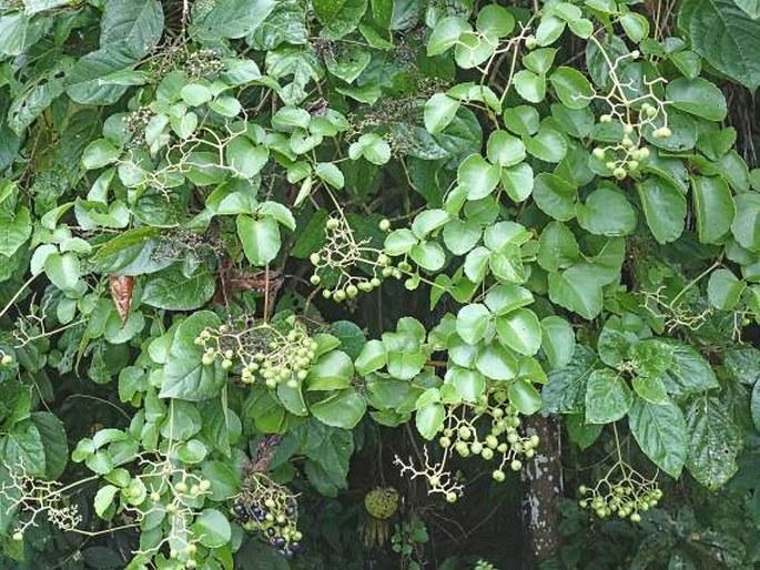 Cayratia trifolia