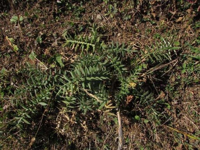 Cirsium kosmelii