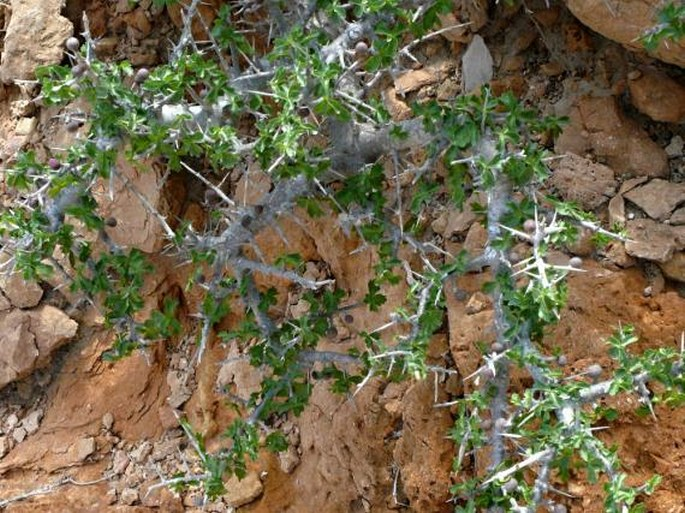 Commiphora wightii