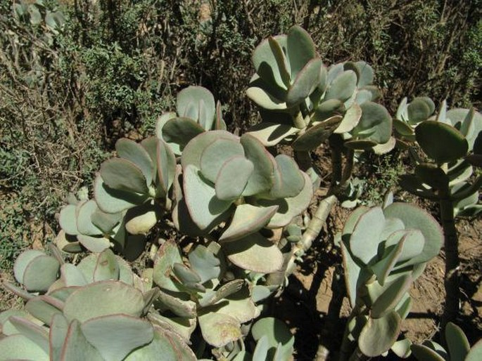 Crassula arborescens