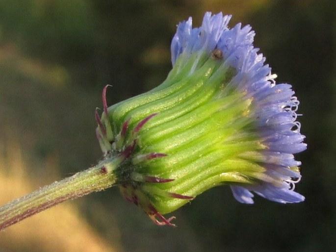 Crassocephalum rubens