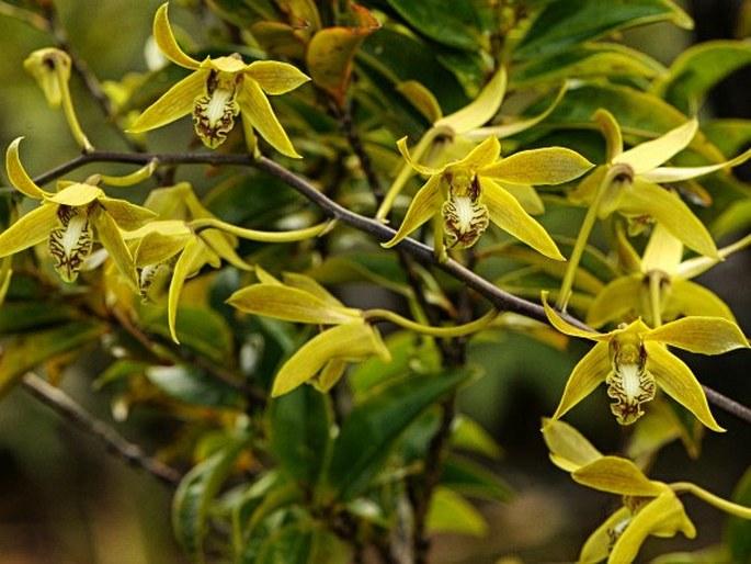 Dendrobium mirbelianum