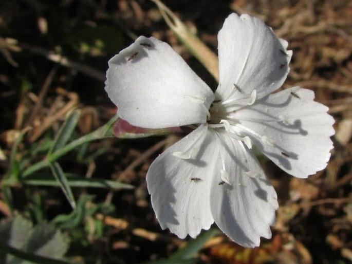 Dianthus cretaceus