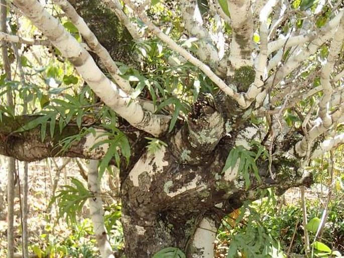 Diospyros egrettarum