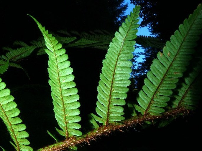 Dryopteris cambrensis
