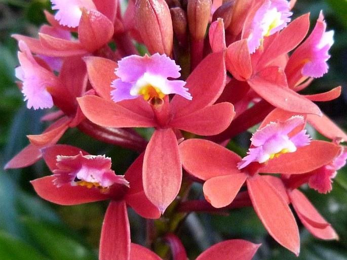 Epidendrum holstii
