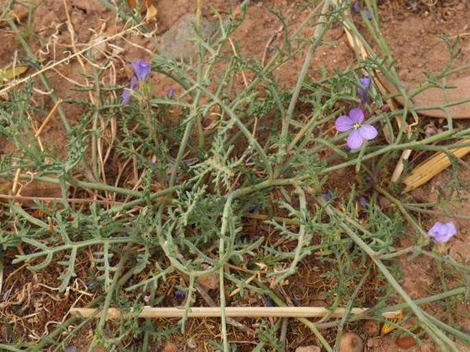 Erucaria erucarioides