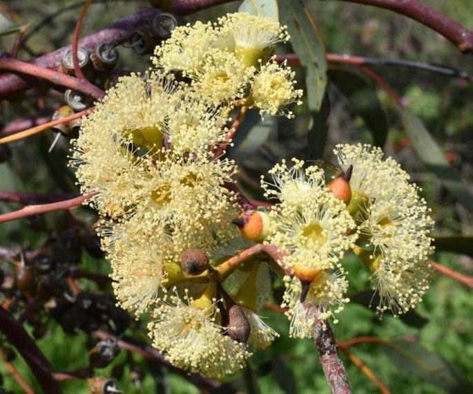 Eucalyptus socialis