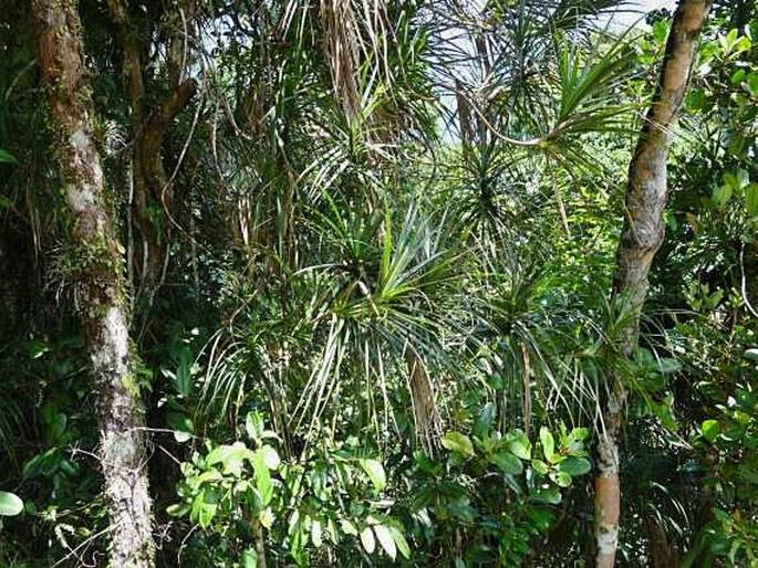 Freycinetia villalobosii