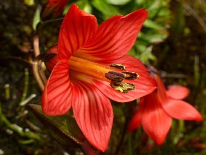 Gentianella cernua