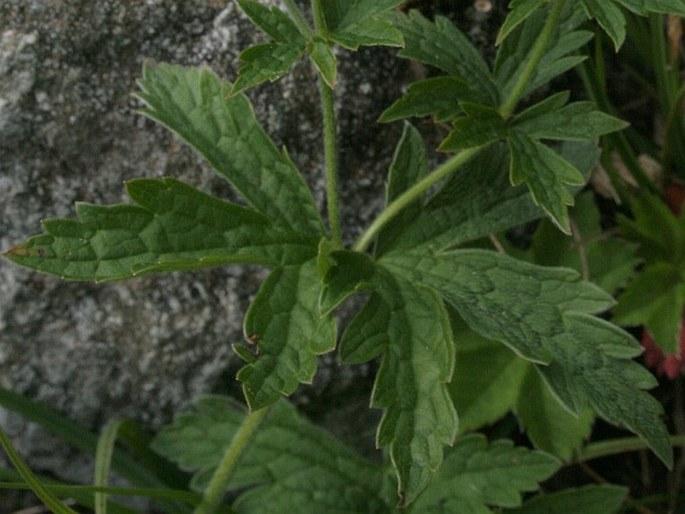 Geranium sylvaticum f. albiflorum