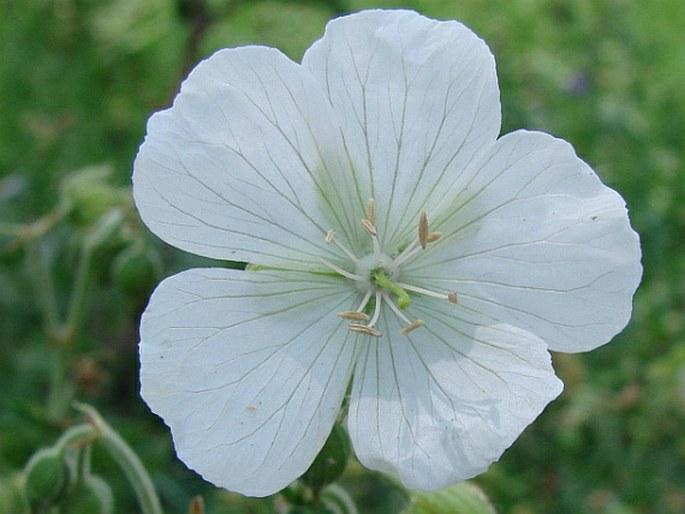 Geranium pratense f. albiflorum