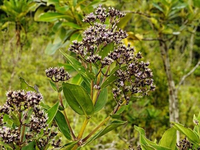 Hedyotis korrorensis