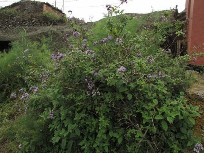 Heliotropium arborescens