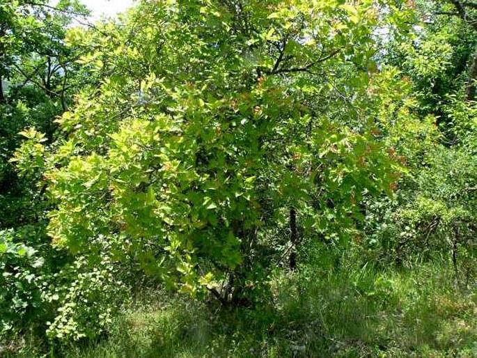 Helleborus multifidus subsp. serbicus