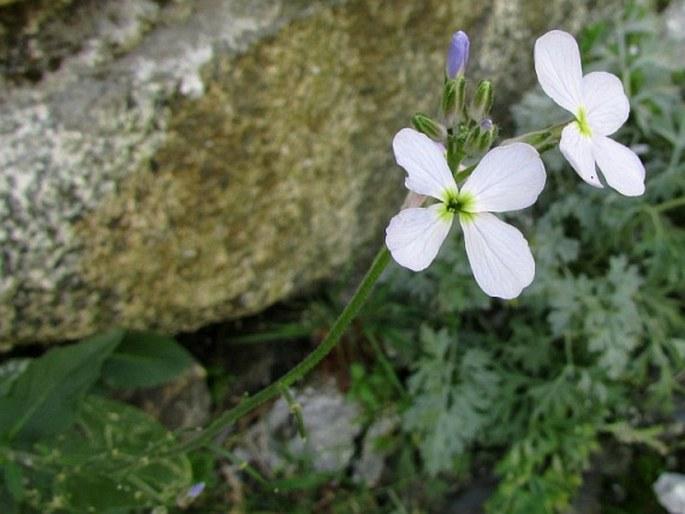 Hesperis matronalis subsp. voronovii