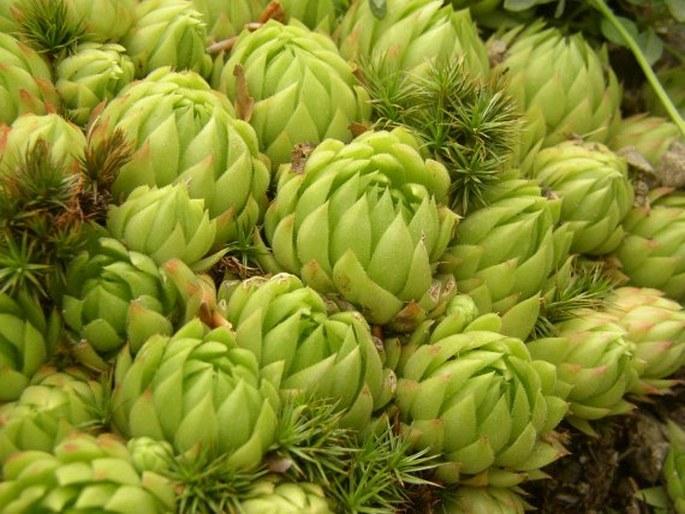 Jovibarba globifera subsp. allionii