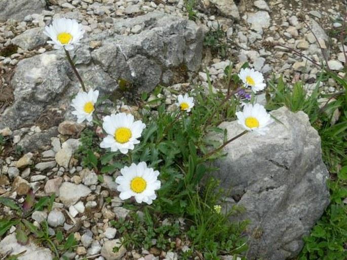 Leucanthemum halleri