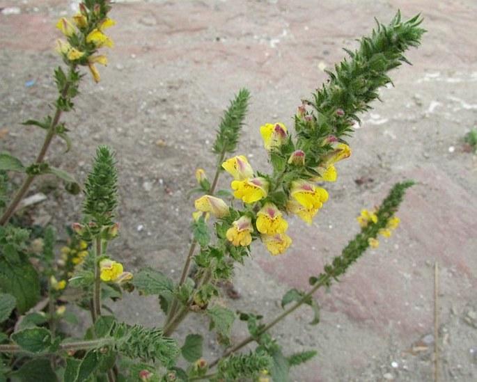 Lindenbergia philippensis