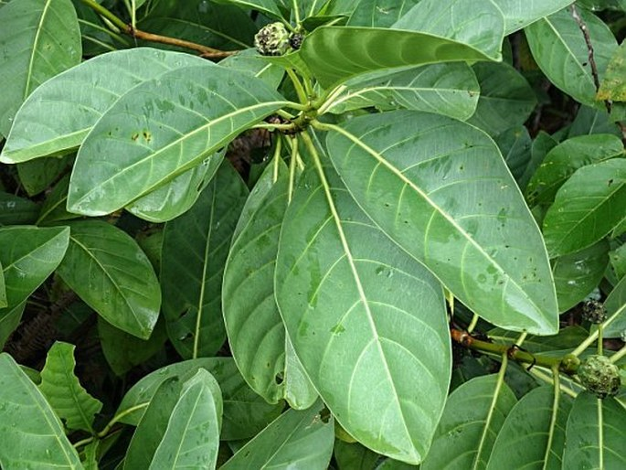 Morinda pedunculata