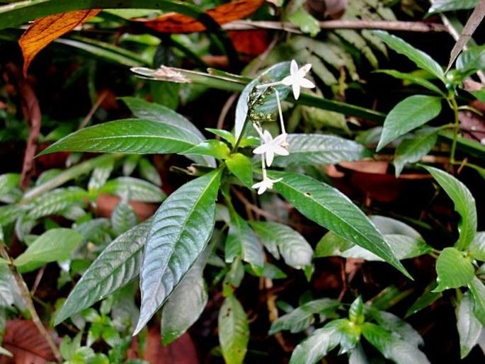 Ophiorrhiza palauensis