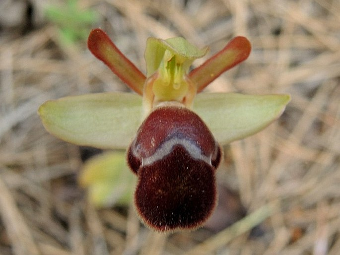 Ophrys omegaifera