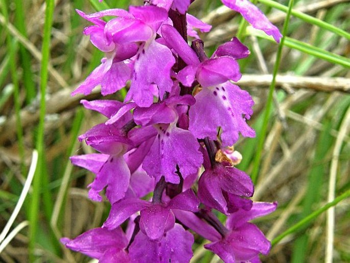 Orchis mascula subsp. mascula