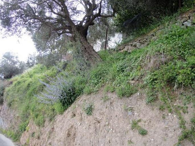 Petromarula pinnata