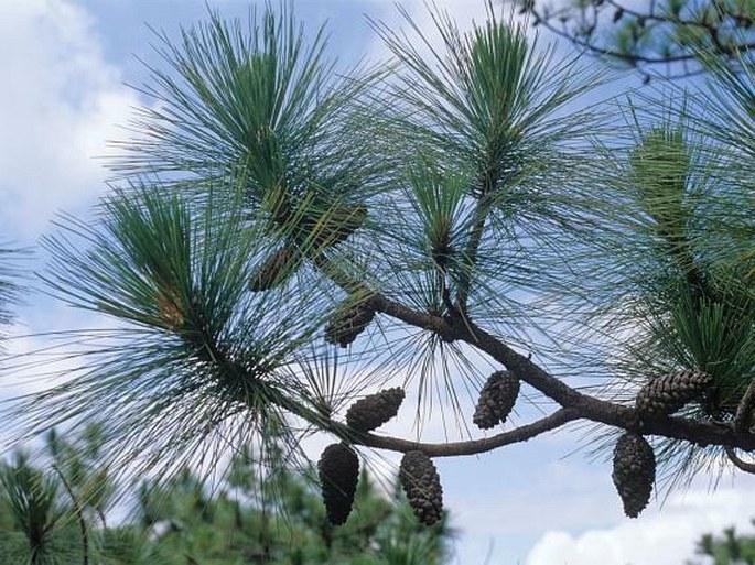Botany Cz 187 Pinus Kesiya Royle Ex Gordon Khasi Pine
