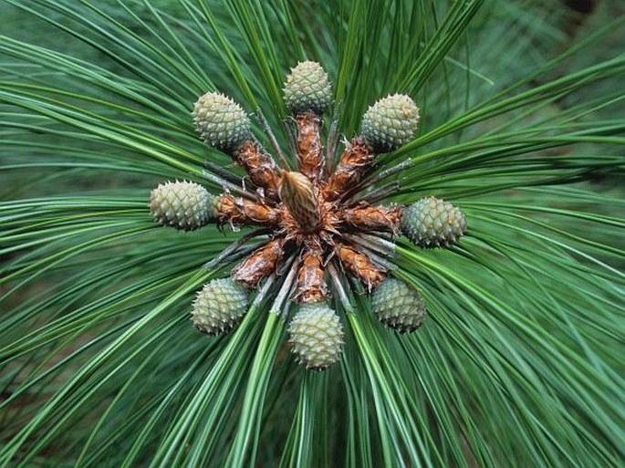 Pinus-ის სურათის შედეგი