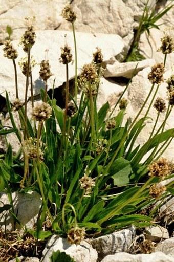 Plantago atrata subsp. fuscescens