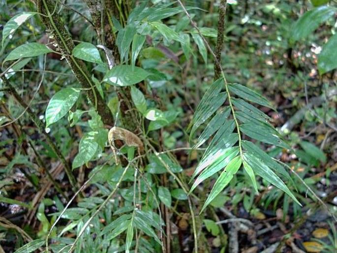 Pseuderia micronesiaca
