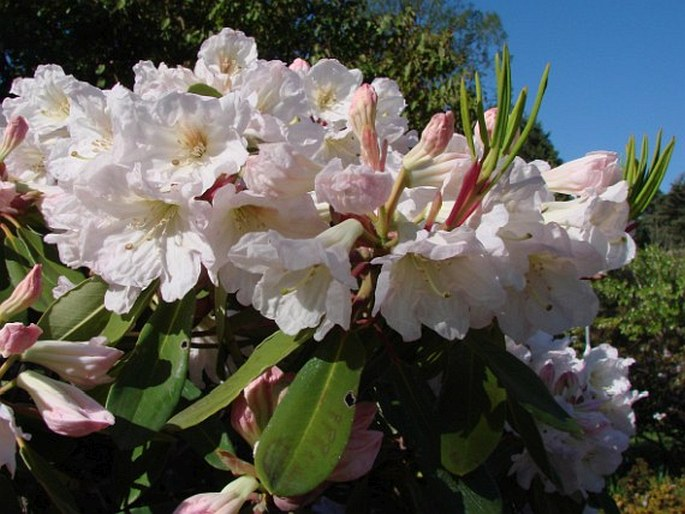 Rhododendron planetum