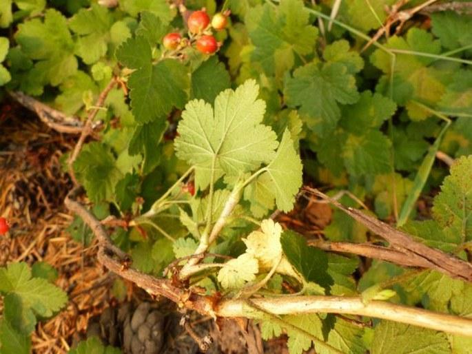 Ribes erythrocarpum