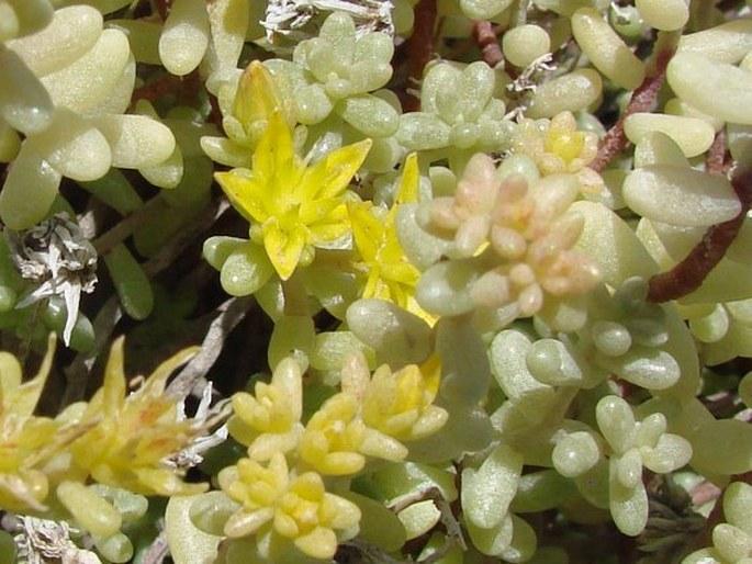 Sedum lancerottense