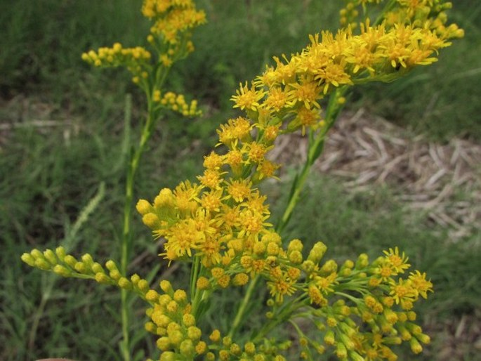 Solidago chilensis