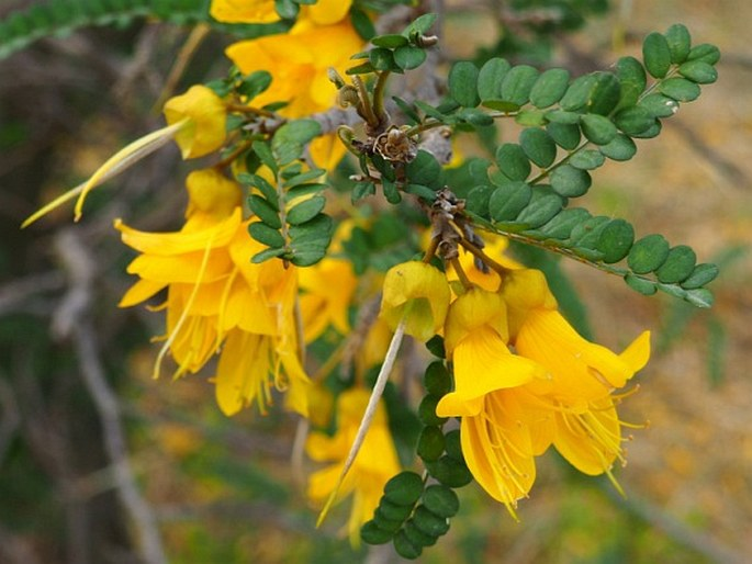 Sophora cassioides