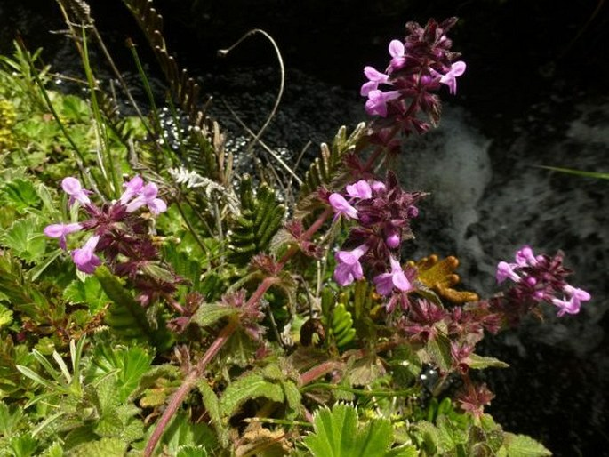 Stachys elliptica
