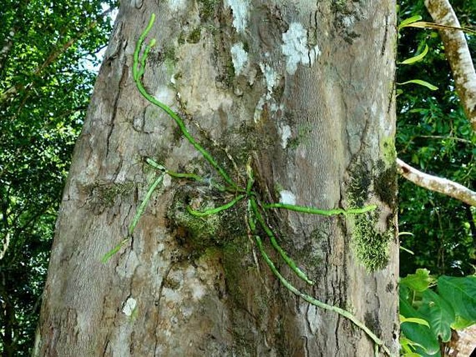 Taeniophyllum marianense
