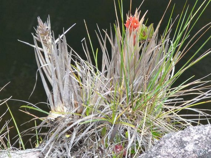 Tillandsia turneri