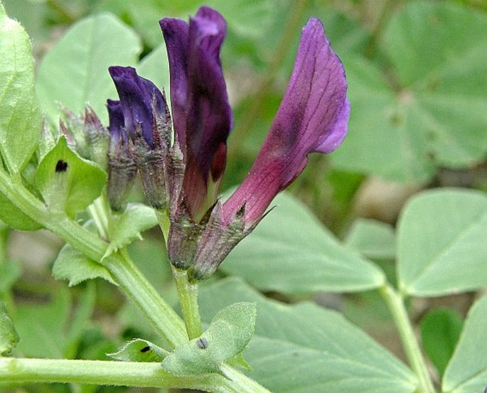 Vicia narbonensis